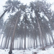 Old coniferous forest in winter fog — Stock Photo