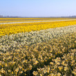 Field with many yellow narcissus — Stock Photo
