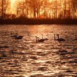Swan silhouettes on lake at sunset — Stock Photo #31418207
