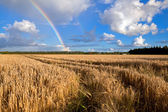 Rainbow over wheat field in summer — Stockfoto