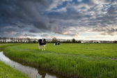 Beautiful sky over pasture with cattle — Stock Photo