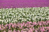 Hintergrund der hyazinthe blüten im frühjahr — Stockfoto