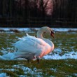 White swan on winter meadow in sunset light — Stock Photo #32584857