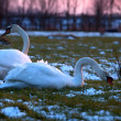 Couple of white swans on pasture at sunset — Stock Photo #32585059