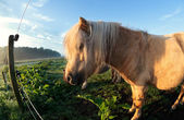 Cute beige pony on pasture in sunshine — Stock Photo