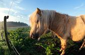 Cute beige pony on pasture in sunshine — Stock Photo