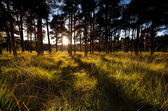Sunbeams before sunset in coniferous forest — Stock Photo