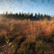 Morning sunlight over marsh with orange autumn birch trees — Stock Photo