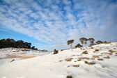 Pine trees on dune covered with snow — Foto Stock