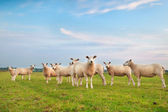 Sheep herd on green pasture — Photo