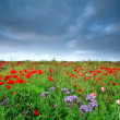 Field with many red poppy flowers — Stock Photo