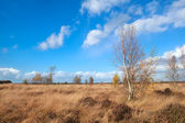 Autumn weather over marshes with birch trees — Стоковое фото