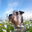 Stock Photo: Cute miniature schnauzer dog with flowers