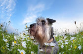 Cute miniature schnauzer dog with flowers — Stock Photo