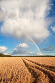 Rainbow on blue sky over barley field — Stockfoto