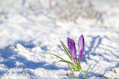 Purple crocus flowers on snow — ストック写真