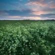 Sunset over meadow with wildflowers — Stock Photo