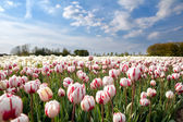 Dutch white and red tulips in sunshine — Stock Photo