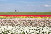 Colorful tulip field and Dutch windmill in spring — Stock Photo