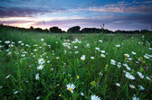 Chamomile flowers on summer meadows at sunset — Photo