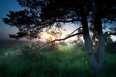 Sunrise over marsh through pine tree — Stock Photo
