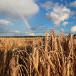 Stock Photo: Rainbow over summer wheat field