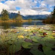 Stock Photo: Water lily flowers on Barmsee lake