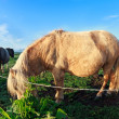 Stock Photo: Pony graze on sunny pasture