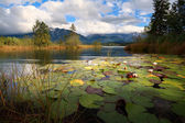 Water lily flowers on Barmsee lake — Stock Photo