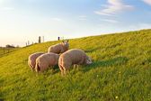 Sheep grazing on green spring pasture — Stock Photo