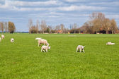 Sheep and lambs on green pasture — Stock Photo