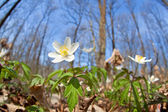 Flowering snowdrop anemone in forest — Stock Photo
