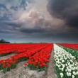 Dramatic thunderstorm over tulip field in spring — Stock Photo #45935113