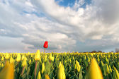 Tulipán rojo en campo amarillo en primavera — Foto de Stock