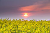 Solnedgång över raps fält — Stockfoto