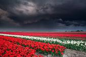Dark stormy sky over tulip field — Stock Photo