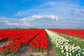 Red and white tulips and blue sky — Stock Photo