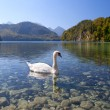 White swan on alpine lake — Stock Photo #48001145