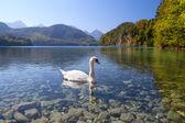 White swan on alpine lake — Stock Photo