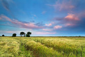Sunset over wheat field in summer — Stockfoto