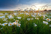 Kamillenblüten in gold sonnenuntergang licht — Stockfoto