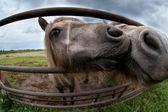Twee pony zoenen close-up — Stockfoto
