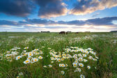 Chamomile flowers and horses on pasture — Stock Photo