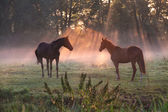 Horses in morning misty sunbeams — Stock Photo