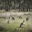 Australian Bush and Kangaroos — Stock Photo #13681132