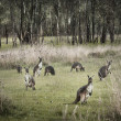 Australian Bush and Kangaroos — Stock Photo