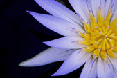 Amazon Waterlily — Stock Photo