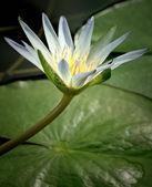 Amazon Waterlily — Stock Photo