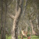 Wild kangaroos in the Bush — Stock Photo #47049049
