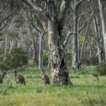 Wild kangaroos in the Bush — Stock Photo #47049073